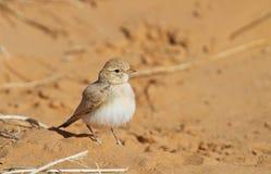 Allodola con coda striata del deserto Fotografie Stock Libere da Diritti