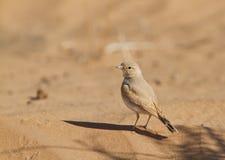 Allodola con coda striata del deserto Immagini Stock Libere da Diritti
