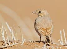 Allodola con coda striata del deserto Immagine Stock