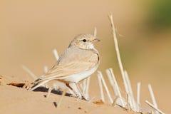 Allodola con coda striata del deserto Fotografia Stock Libera da Diritti