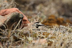 Allodola cornuta (Eremophila Alpestris) che si nasconde nell'erba su un nido Immagine Stock