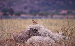 Allodola crestata alla riserva naturale a Kalloni Lesvos Grecia Immagine Stock Libera da Diritti