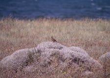 Allodola crestata alla riserva naturale a Kalloni Lesvos Grecia Fotografia Stock