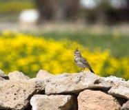 Allodola crestata (cristata di Galerida) che si siede su una roccia con un beauti Fotografia Stock Libera da Diritti