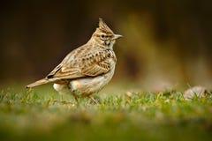 Allodola crestata, cristata di Galerida, nell'erba sul prato Uccello nell'habitat della natura, repubblica Ceca Immagine Stock Libera da Diritti