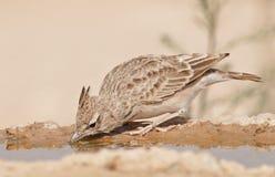 Allodola del deserto Fotografia Stock Libera da Diritti