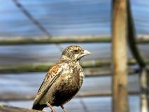 Allodola del passero in capitivity Immagine Stock