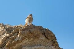 Allodola dell'uccello del ritratto Immagine Stock Libera da Diritti