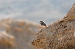 Allodola dell'uccello del ritratto Fotografia Stock Libera da Diritti