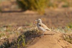 Allodola dell'upupa nel deserto Fotografia Stock Libera da Diritti