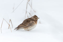 Allodola euroasiatica, nell'inverno nevoso Fotografia Stock Libera da Diritti