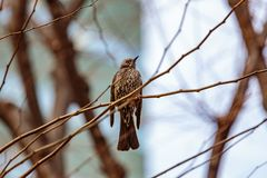Allodola in un albero più vicino Fotografia Stock Libera da Diritti