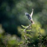 Allodola in volo dall'ortica (arvensis del Alauda) Fotografia Stock