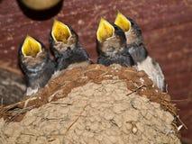 Allodole nel nido Fotografia Stock