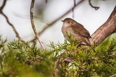 Alloggi il aedon di Wren Troglodytes che si siede su un ramo del cedro Immagine Stock Libera da Diritti