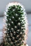 Alloggi il cactus nella luce fresca luminosa con i fusi rossi e bianchi Immagine Stock