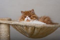 Alloggi il gattino persiano di colore rosso e bianco Immagini Stock Libere da Diritti