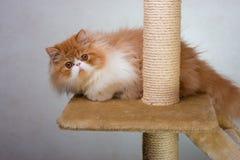Alloggi il gattino persiano di colore rosso e bianco Fotografia Stock