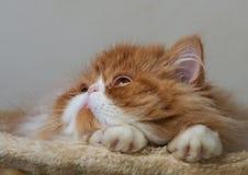 Alloggi il gattino persiano di colore rosso e bianco Fotografie Stock Libere da Diritti