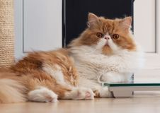Alloggi il gattino persiano di colore rosso e bianco Fotografie Stock