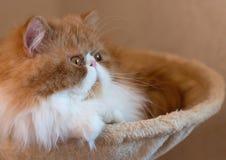 Alloggi il gattino persiano di colore rosso e bianco Immagini Stock
