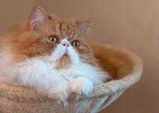 Alloggi il gattino persiano di colore rosso e bianco Fotografia Stock Libera da Diritti
