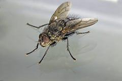 Alloggi il macro punto di vista obliquo della mosca contro fondo grigio chiaro Fotografie Stock Libere da Diritti