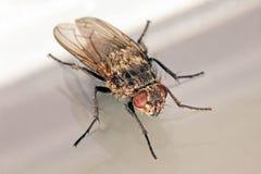 Alloggi il macro punto di vista obliquo della mosca su bianco e su grigio Fotografia Stock