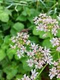 Alloggi il musca domestica della mosca su un capolino di fioritura i Fotografia Stock Libera da Diritti