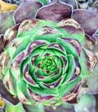 alloggi il porro, la pianta succulente, vivum del semper, Immagini Stock Libere da Diritti