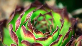 alloggi il porro, la pianta succulente, vivum del semper, Fotografie Stock Libere da Diritti