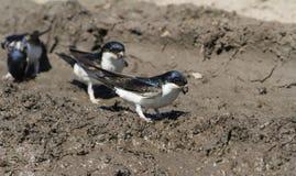 Alloggi il urbica di Martin Delichon che raccoglie il fango per fare i loro nidi Fotografia Stock