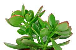 Alloggi la crassula della pianta in un vaso di fiore isolato su un backgro bianco Fotografia Stock