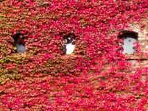 Alloggi la facciata invasa con la vite rossa vibrante di caduta Fotografie Stock