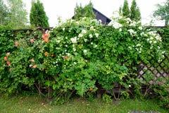 Alloggi la fioritura in primavera nelle rose del corallo del giardino Fotografia Stock Libera da Diritti