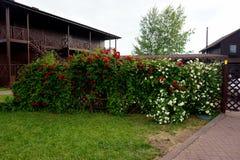 Alloggi la fioritura in primavera nelle rose del corallo del giardino Fotografia Stock