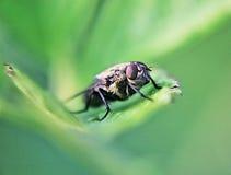 Alloggi la mosca Immagine Stock