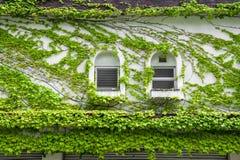 Alloggi la parete e le finestre coperte dall'edera verde di strisciamento e di scalata Fotografie Stock Libere da Diritti