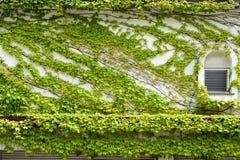 Alloggi la parete e le finestre coperte dall'edera verde di strisciamento e di scalata Fotografia Stock Libera da Diritti