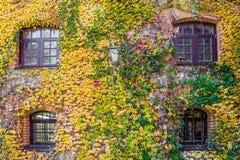 Alloggi la parete invasa con l'uva selvaggia, scena di autunno Immagine Stock