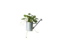Alloggi la pianta in annaffiatoio, pianta isolata su bianco Fotografia Stock Libera da Diritti
