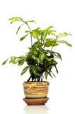 Alloggi la pianta in bello POT con bianco isolato Immagine Stock Libera da Diritti