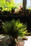 Alloggi la pianta, la felce nel vaso da fiori nella stanza con luce solare e l'ombra Fotografia Stock Libera da Diritti