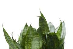 Alloggi la pianta isolata sul primo piano bianco Fotografia Stock Libera da Diritti