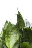Alloggi la pianta isolata sulla fine di bianco in su Fotografie Stock