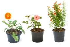 Alloggi la pianta nel vaso, nelle piante e nel giardinaggio di fiore Fotografie Stock