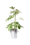 Alloggi la pianta in secchio, pianta isolata su bianco Immagini Stock Libere da Diritti