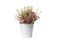 Alloggi la pianta in secchio, pianta isolata su bianco Immagini Stock