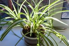 alloggi la pianta sul davanzale della finestra illuminato dal sole Fotografia Stock