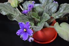 Alloggi la viola porpora del fiore con il vaso rosso e con la riflessione su un fondo lucido nero Fotografie Stock
